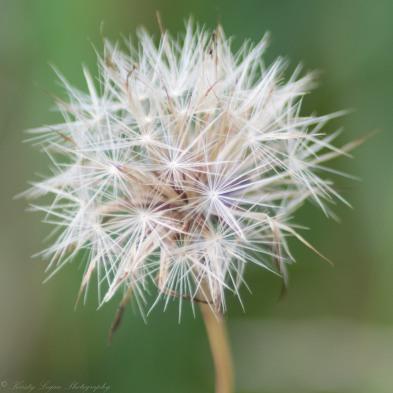 Dandelion colour (1 of 1)