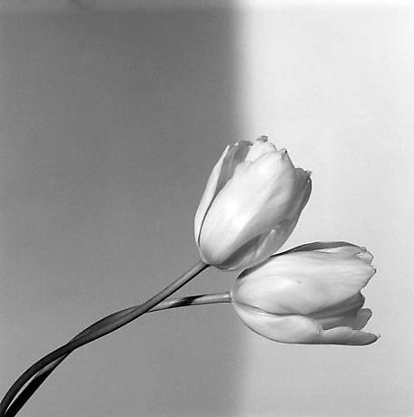 Tulip, 1985 - httpprod-images.exhibit-e.comwww_mapplethorpe_org6d0978f9.jpg